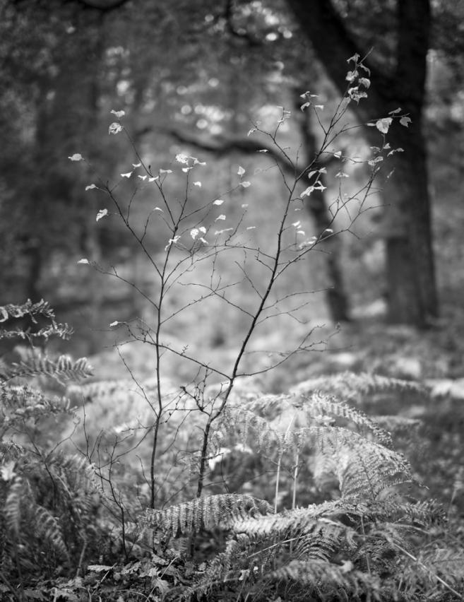 Autumn saplings