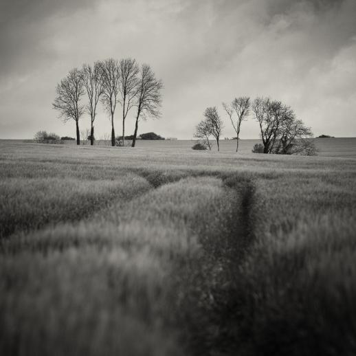 Trees in a Field, Dorset