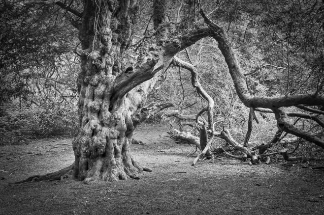 Kinglay Vale Yew tree